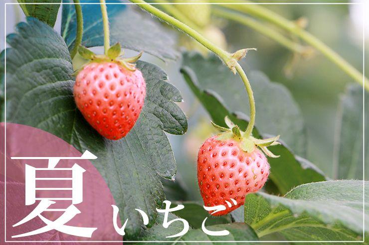 奥田農園の「御和いちご」