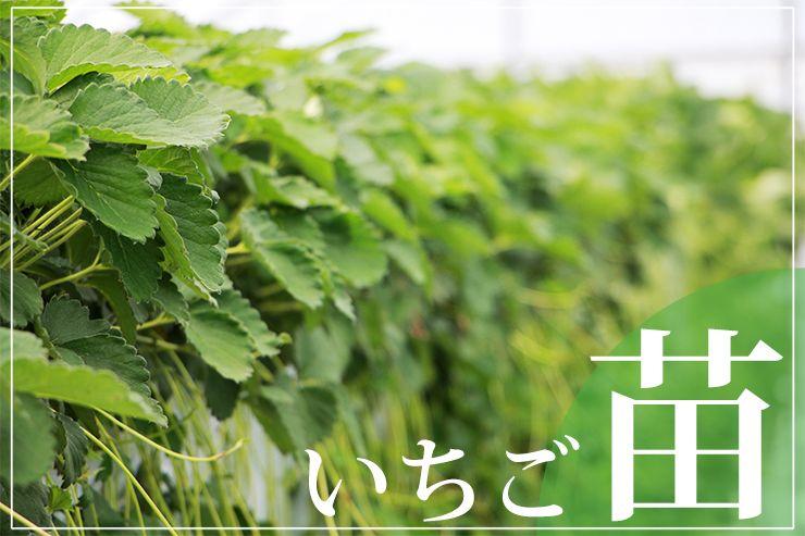 奥田農園の「いちご苗」
