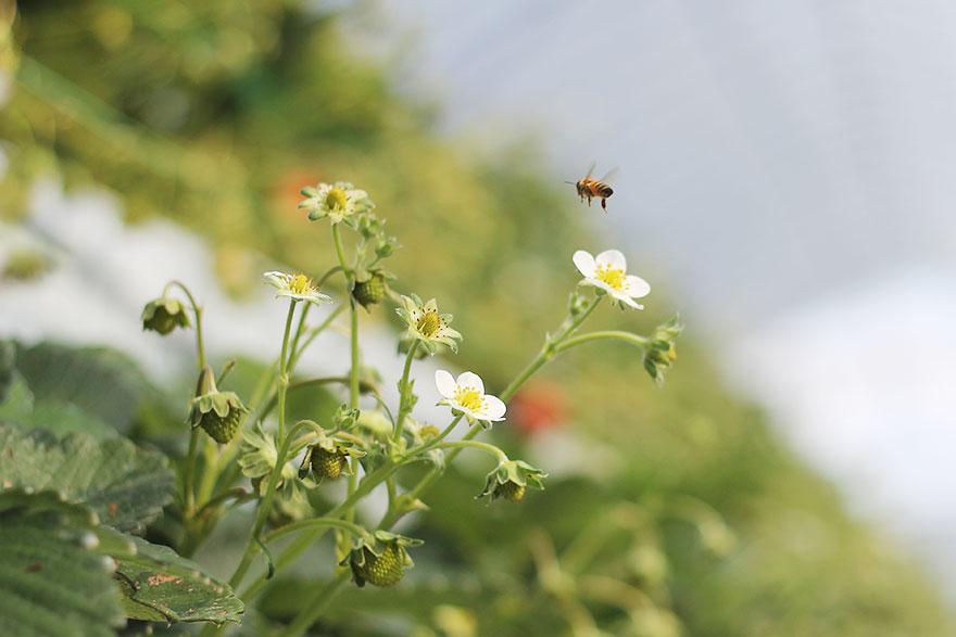夏いちごとミツバチ