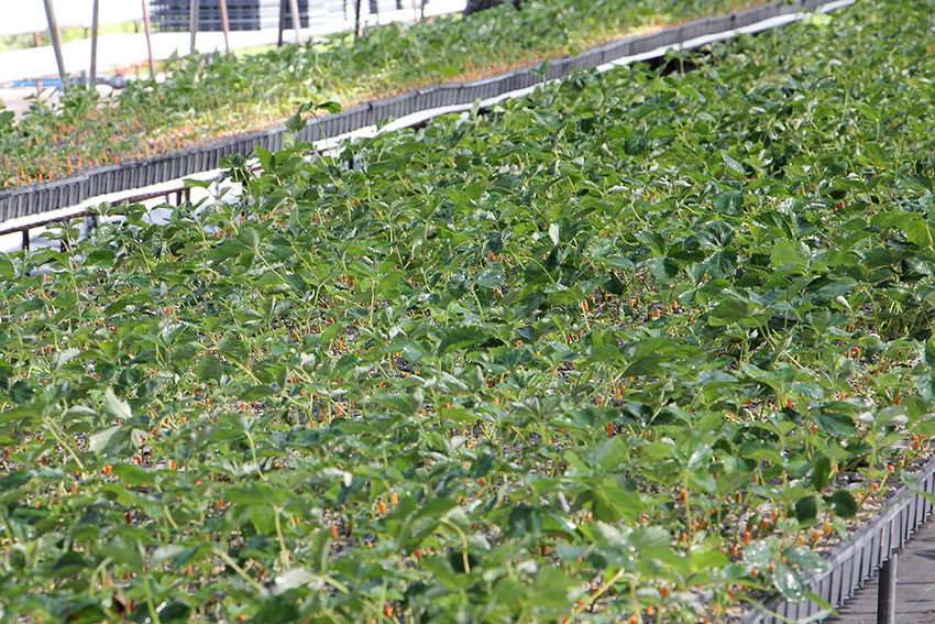 いちごの苗生産