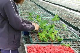 章姫イチゴの苗挿し風景