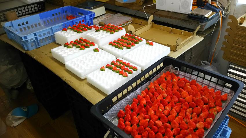イチゴ出荷