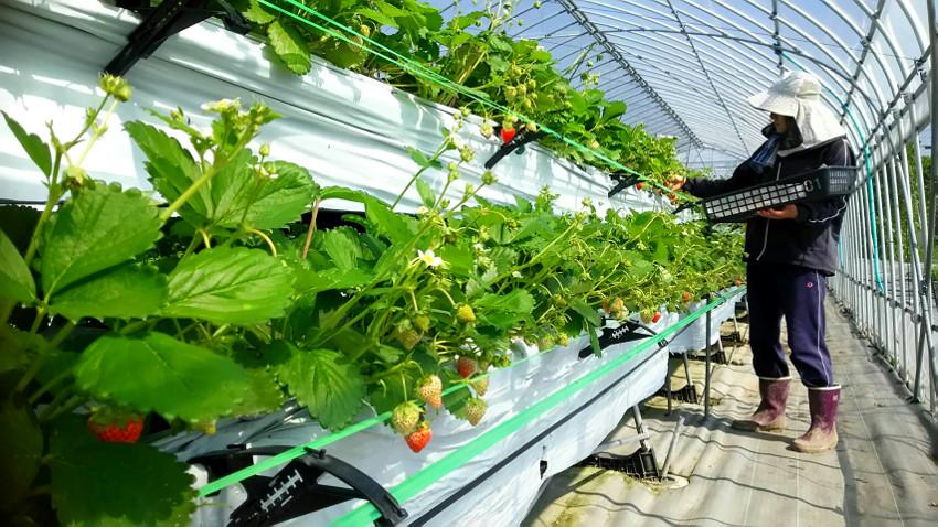 イチゴ収穫の様子